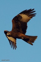 The powerful Black Kite, the sacred raptor of Isis