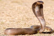 The impressive Egyptian cobra can grow to 8 ft. in length