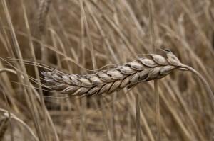 Emmer wheat