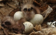 Black kite chicks hatching from their eggs; image © Jose Luis Gomez de Francisco / naturepl.com