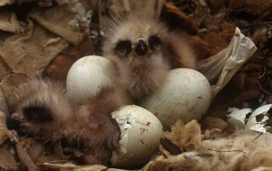 Black kite chicks hatching from their eggs; image © Jose Luis Gomez de Francisco / naturepl.com