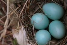 Beautiful Robin's egg blue eggs