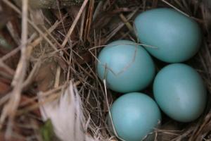 Beautiful Robin's egg blue eggs