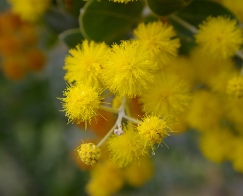 Acacia flowers are sweet smelling and look like mini suns