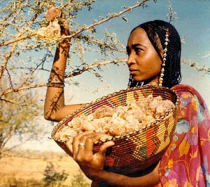 Young woman gathering gum acacia in Sudan
